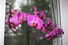 (09.08.2013 © ATola) Орхидея - Фиолетовая. В горшке