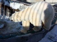 (16.02.2013 © ATola) Екатеринбуржский зоопарк - Белый медведь
