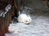 (16.02.2013 © ATola) Екатеринбуржский зоопарк - Белый кролик