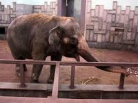 (16.02.2013 © ATola) Екатеринбуржский зоопарк - Слониха