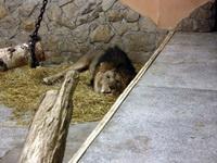 (16.02.2013 © ATola) Екатеринбуржский зоопарк - Лев обедает