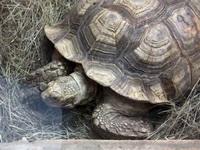 (16.02.2013 © ATola) Екатеринбуржский зоопарк - Большая черепаха