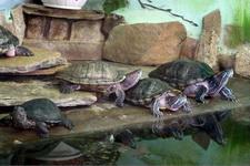 (16.02.2013 © ATola) Екатеринбуржский зоопарк - Водяные черепахи