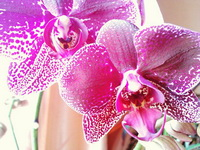 (31.03.2015 © ATola) Орхидея в подарок - От свекрови