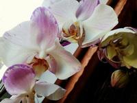 (31.03.2015 © ATola) Орхидея в подарок - От мамы
