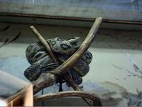 (16.02.2013 © ATola) Екатеринбуржский зоопарк - Змея на ветке