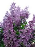 (06.06.2015 © ATola) Фиолетовая срень - Все цветет