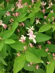 (06.06.2015 © ATola) Кажется, волчьи ягоды - Все цветет