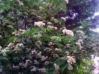 (06.06.2015 © ATola) Рябина - Все цветет