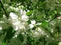 (06.06.2015 © ATola) Яблоня - Все цветет