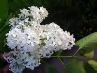 (06.06.2015 © ATola) НАЙДИ белую сирень с 8 лепестками - Все цветет