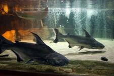 (16.02.2013 © ATola) Екатеринбуржский зоопарк - Сомы и аквариум со скатом