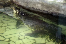 (16.02.2013 © ATola) Екатеринбуржский зоопарк - Крокодил