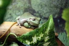 (16.02.2013 © ATola) Екатеринбуржский зоопарк - Зеленая лягушка