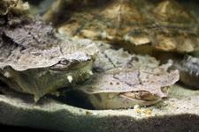(16.02.2013 © ATola) Екатеринбуржский зоопарк - Черепаха Мата-мата