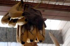 (16.02.2013 © ATola) Екатеринбуржский зоопарк - Летучие собаки едят бананы