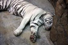 (16.02.2013 © ATola) Екатеринбуржский зоопарк - Белый тигр