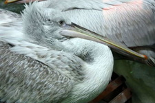 (16.02.2013 © ATola) Екатеринбуржский зоопарк - Пеликан