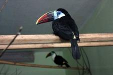 (16.02.2013 © ATola) Екатеринбуржский зоопарк - Тукан