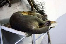 (16.02.2013 © ATola) Екатеринбуржский зоопарк - Фосса спит