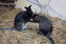 (16.02.2013 © ATola) Екатеринбуржский зоопарк - Кенгуру обнимаются