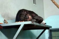 (16.02.2013 © ATola) Екатеринбуржский зоопарк - Шимпанзе?