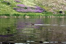 (12.06.2013 © ATola) Прогулка по Исети - Утка с утенком