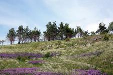 (12.06.2013 © ATola) Прогулка по Исети - Цветы и сосны